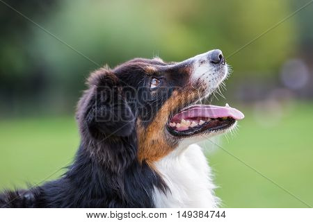 Portrait Of An Australian Shepherd Dog