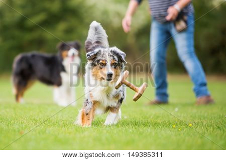 Australian Shepherd Dog Running For A Toy