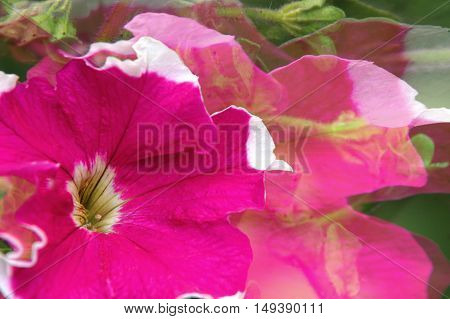 Petunia flower. The background for your project.