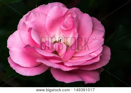 Portrait of rose in the summer garden. Photography of nature.