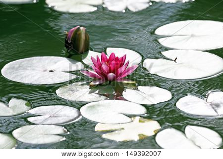 the bright red flower lily lotus water