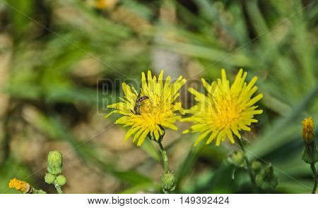 The bee worth collecting pollen from yellow flower.
