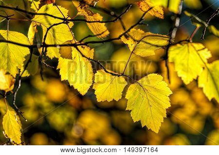 Bright yellow leaves in Cannon Hill Park in Spokane Washington.