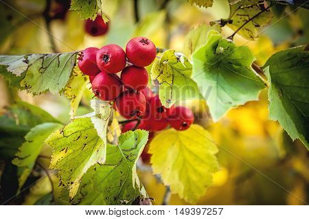 The beautiful colors of leaves and berries on a crabapple tree in Autumn in Cannon Hill Park in Spokane Washington.