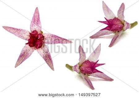 Set of flowers stonecrop close-up lat. Sedum spectabile isolated on white background