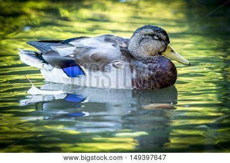 Mallard floats on water at Cannon Hill Park in Spokane Washington