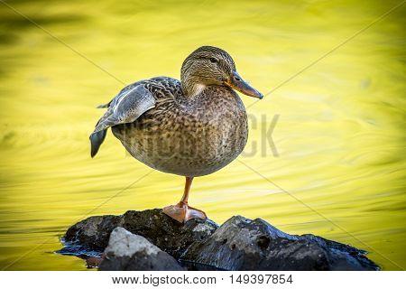 Zen duck on rock at Cannon Hill Park in Spokane Washington.