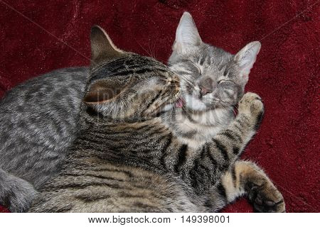 Pair of Tabby Kittens on a Red Background grooming each other