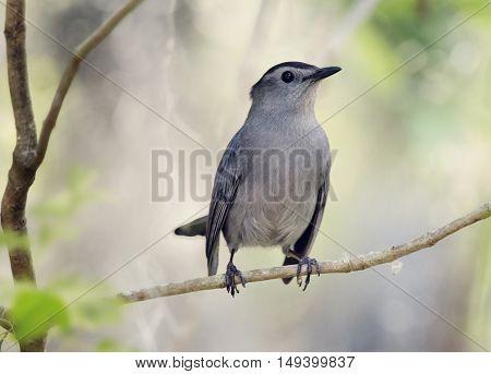 Gray Catbird Perching on a branch
