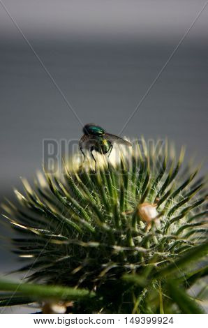 a close up shot of a thistle bud with a fly on the top.