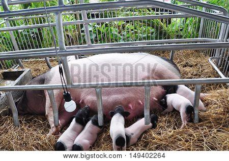 Pigs are breastfeeding in the farm. Schwaebisch-haellisches. Swabian Pig German Breed.