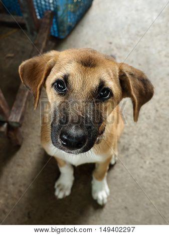 Puppy waiting for food. Thai puppy (Dog).