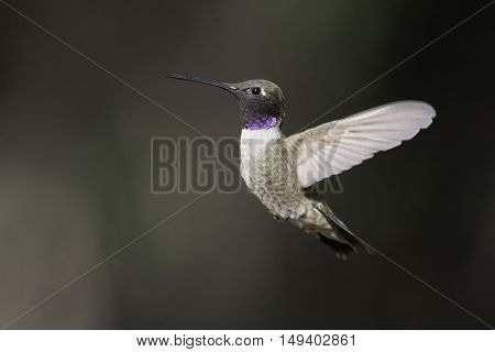 Male Black-chinned Hummingbird (Archilochus alexandri) in flight