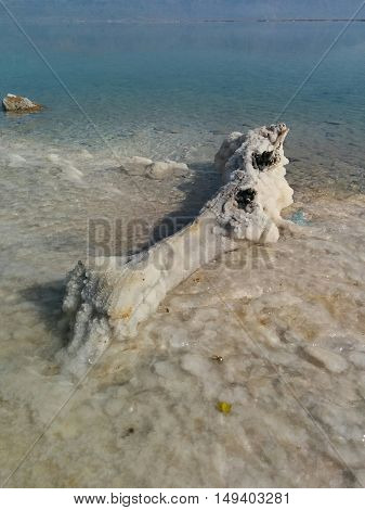 A tree fallen into the dead sea