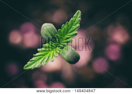 Macro detail of Marijuana plant seedling growing from seed
