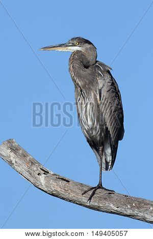 Great Blue Heron (Ardea Herodias) perched against a blue sky