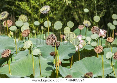 Buds of Nelumbo nucifera lotus flower closeup