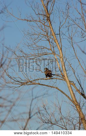 young bald eagle perched in a tree.
