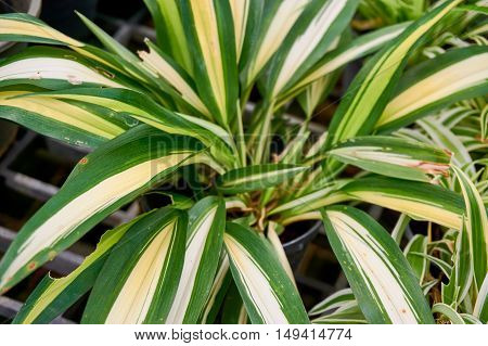 Close up picture of spider plant leaves, Use as background.