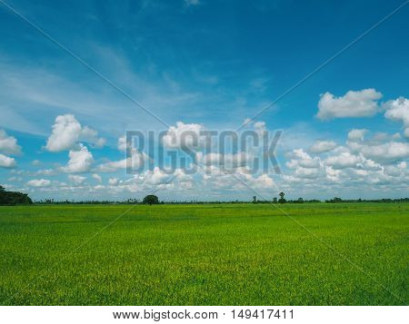 The rice field and cloudy blue sky at the countryside.