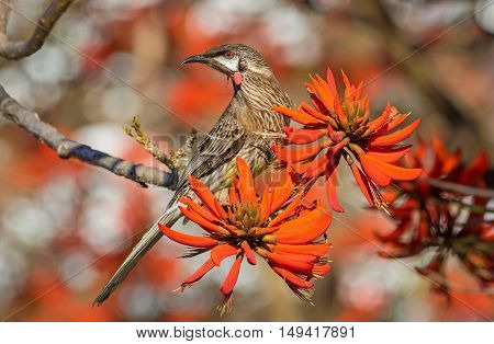 A Red Wattlebird (Anthochaera carunculata) feeding on nectar on a coral tree in Western Australia.