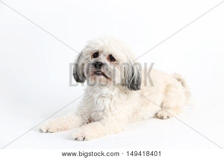 Adorable white Havanese dog lying down on white background