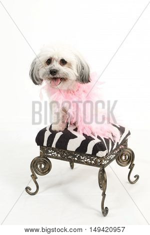 Adorable white Havanese dog with a pink boa sits on a art deco style stool