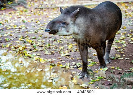 Sud american Tapir close up portrait looking