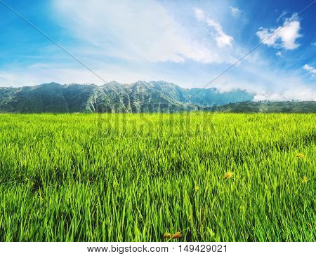 Landscape green rice grassland field with mountain and blue sky