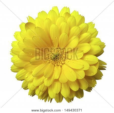 Flowercalendula blossoms yellow with dew white isolated background with clipping path. no shadows. Closeup with no shadows. Nature.