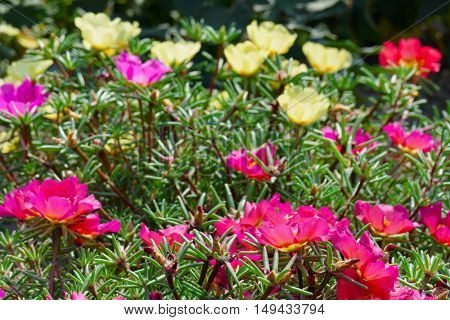 Bright flowers purslane in the flowerbed in the park. Focus on the foreground. Shallow depth of field.