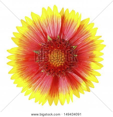 Yellow and red flower in the garden shined in the sun after the rain white isolated background with clipping path. no shadows. Closeup with no shadows. Nature.