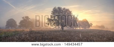 Oak Trees On Meadow In Foggy Morning