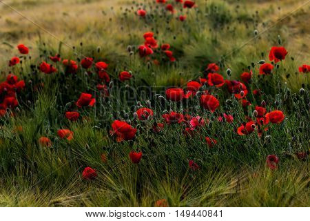 Wheat field with papaver flowers. Photography of nature.