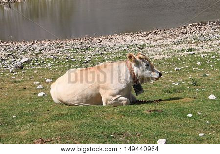 Closeup view of a cow resting on a meadow