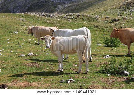 Herd of cows grazing in a meadow