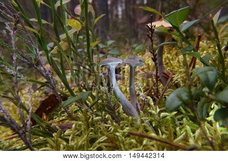 Several Poisonous Mushrooms Of The Autumn Forest, The Toadstools