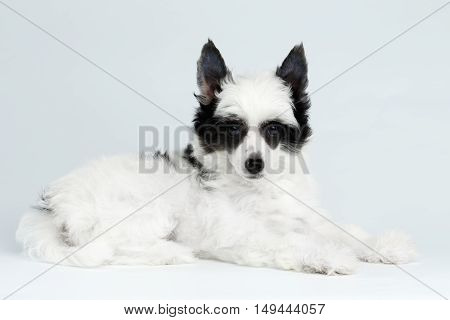 Cute Chinese Crested Puppy with Funny Black Fur Color Like Raccoon, Lying on white background