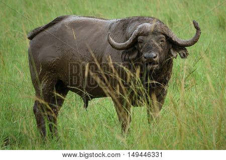 Front view of isolated Buffalo covered with mud in the field