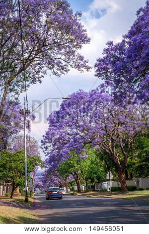 Johannesburg South Africa - October 22 2015: Tall Jacaranda trees lining the street of a Johannesburg suburb in the afternoon sunlight