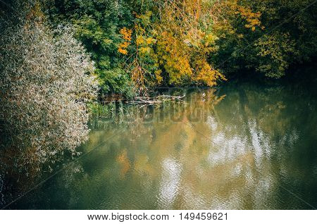 Autumn trees over the river and wild duck