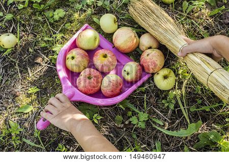 Child collect apples in a scoop with a broom in a garden