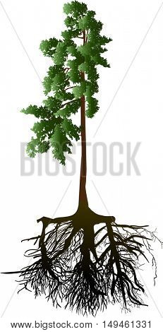 illustration with pine tree with root isolated on white background