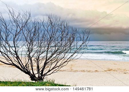 Dry tree on sandy beach in Australia