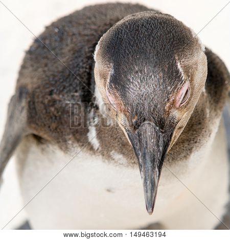 Portrait Of An Adult Penguin