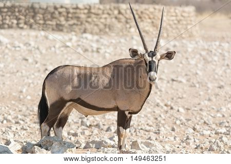 Single Oryx Gazella (gemsbok) At Articicial Waterhole