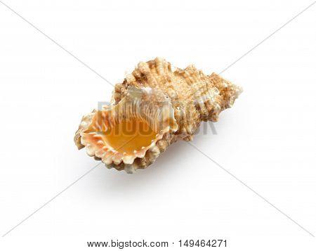 Seashell isolated on a white background. seashell.