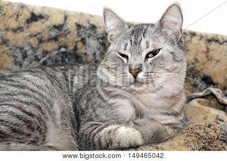 poster of Cat on brown background, Serious cat, cat at home, proud cat, funny cat, grey cat, domestic animal, grey serious cat in blurry background, fat cat, portrait of cat