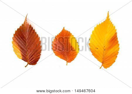 Fallen autumn leaf of a tree on over white