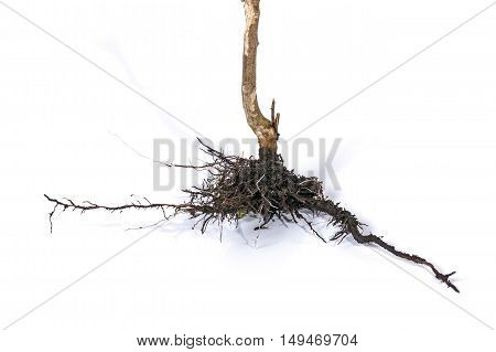 Dry Dead Plant Stem And Underground Roots And Soil